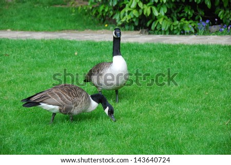 Goose strolling in the park - stock photo
