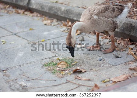 goose walking finding for food from thailand