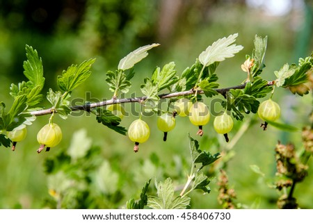 gooseberries on a branch in the garden