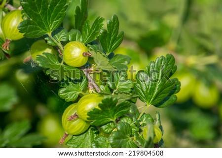 Gooseberry bush - stock photo