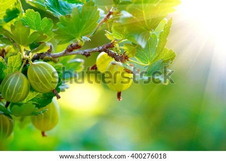 Gooseberry. Fresh and Ripe Organic Gooseberries Growing in the Garden - stock photo