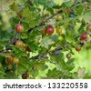 gooseberry growing - stock photo