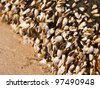 Gooseneck barnacles on lumber - stock photo