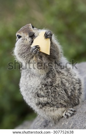 Gopher eating a piece of cheese. - stock photo