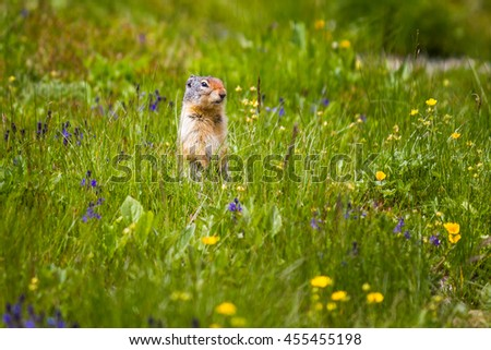 Gopher starring and standing near the burrow on meadow