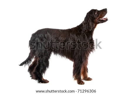 Gordon Setter dog profile, on a white background - stock photo