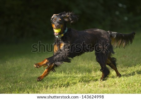 Gordon setter dog running with tennis ball in mouth. - stock photo