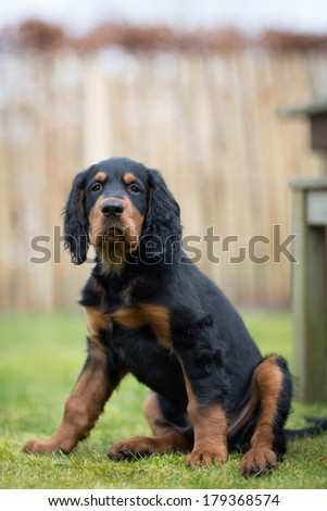 Gordon setter puppy dog sitting in a meadow on the grass, looking into the lens leaving room for copy space - stock photo