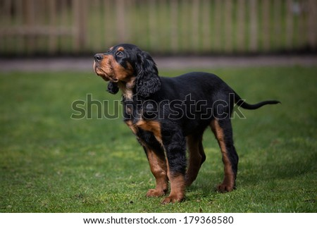 Gordon setter puppy dog standing in a meadow on the grass and obediently looking up - stock photo