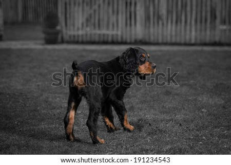 Gordon setter puppy dog standing in a meadow on the grass, and obediently looking up, in black and white combined with color