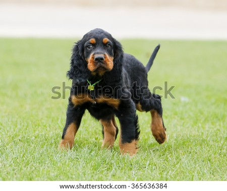 Gordon Setter puppy looking unsure at the park - stock photo