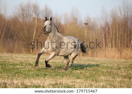Gorgeous appaloosa running alone in spring nature