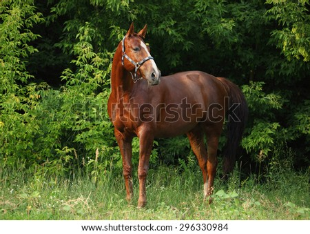 Gorgeous bay Thoroughbred horse looking out - stock photo