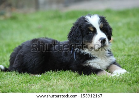 Gorgeous Bernese Mountain Dog puppy lying and looking at you