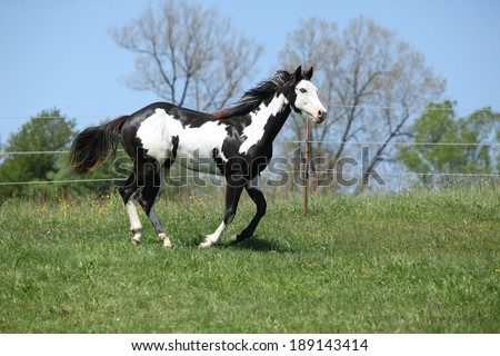 Gorgeous black and white stallion of paint horse running on spring pasturage - stock photo
