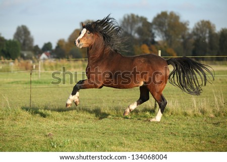 Gorgeous brown welsh mountain pony stallion with black hair running