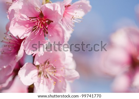 Gorgeous colorful spring cherry flowers in fresh sunshine.