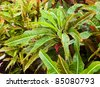 gorgeous Croton (Codiaeum variegatum) plant with water drops after tropical storm in Antigua - stock photo