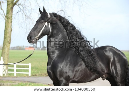 Gorgeous friesian stallion with long hair and white bridle - stock photo