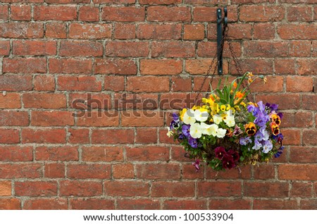 gorgeous hanging primula flowers in a pot on a brick wall background - stock photo