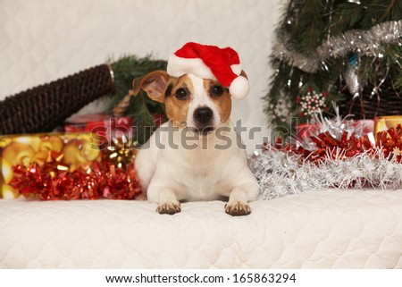 Gorgeous Jack russell terrier with Santa hat in a christmas looking at you
