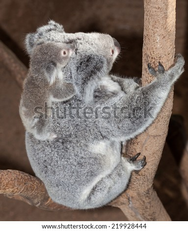 gorgeous koala mum with joey in newcastle nsw Australia - stock photo