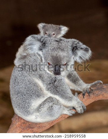 gorgeous koalas at Blackbutt Newcastle - stock photo
