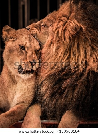 Gorgeous lion and lioness on circus arena - stock photo