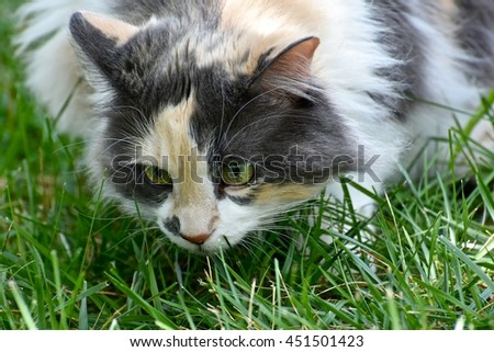 Gorgeous long haired calico cat