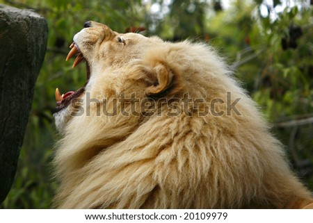 Gorgeous Male African Lion roaring. - stock photo