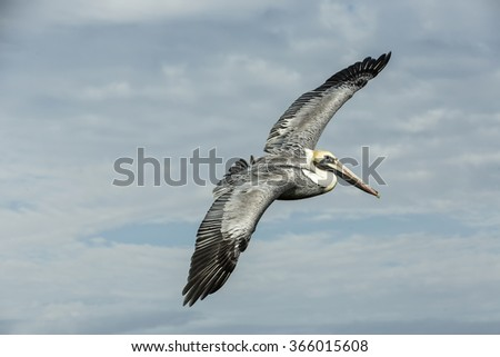 Gorgeous pelican fly over sea. Cape Coral, Florida - stock photo