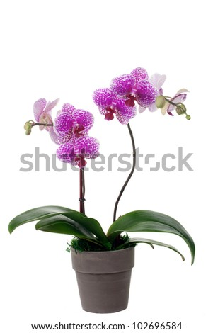 Gorgeous pink and white phalaenopsis orchid plant in pot over white background