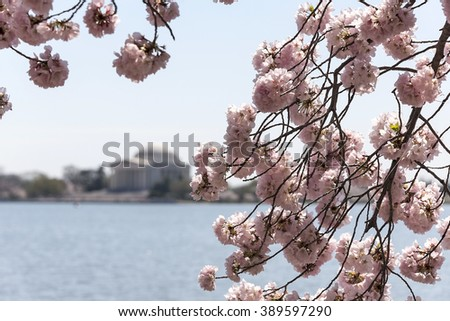 Gorgeous pink cherry tree blossoms line the Tidal Basin in Washington, DC. The famous Jefferson Memorial can be seen in the distance across the Tidal Basin. - stock photo