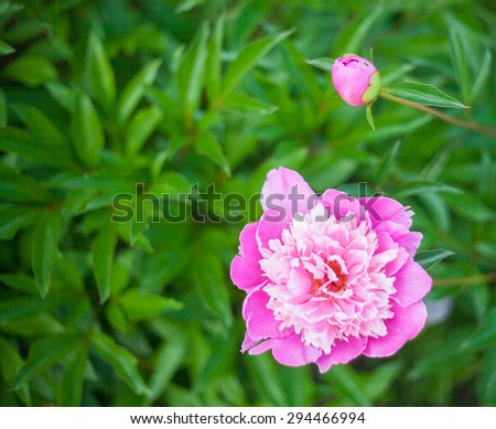 Gorgeous pink peony in a full bloom - stock photo