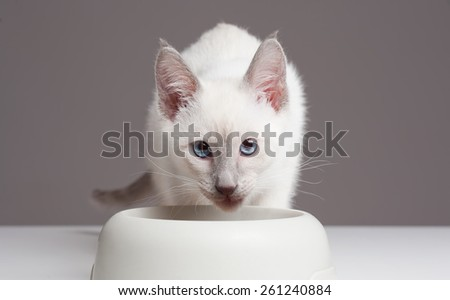 Gorgeous playful siamese kitten. - stock photo