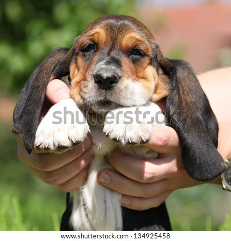 Gorgeous puppy of basset hound holding by two big hands - stock photo
