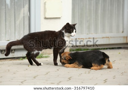 Gorgeous puppy of Norwich terrier plying with a cat - stock photo