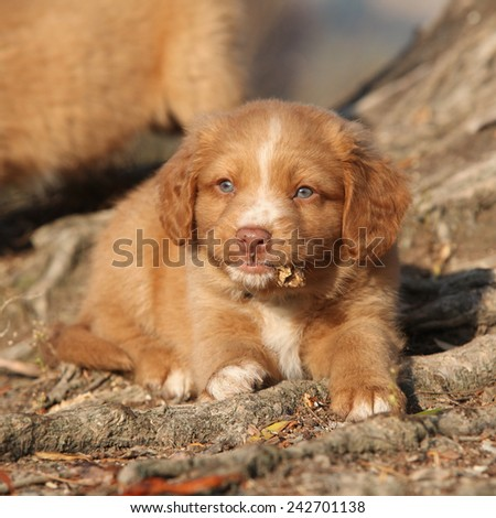 Gorgeous puppy of nova scotia duck tolling retriever lying on roots - stock photo