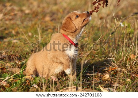 Gorgeous puppy of nova scotia duck tolling retriever sitting in nature - stock photo