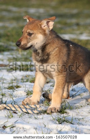 Gorgeous puppy of wolfdog on some snow in winter