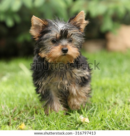 Gorgeous puppy of Yorkshire terrier standing in the garden