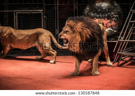 Gorgeous roaring lion walking on circus arena - stock photo