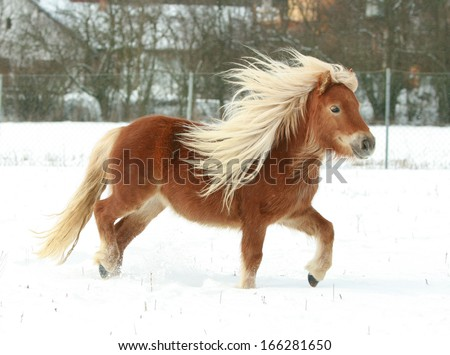 Gorgeous shetland pony with long blond mane in winter - stock photo