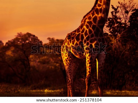 Gorgeous tall giraffe in bright orange sunset light, body part of animal with beautiful skin, beauty of african nature, exotic travel to South Africa - stock photo