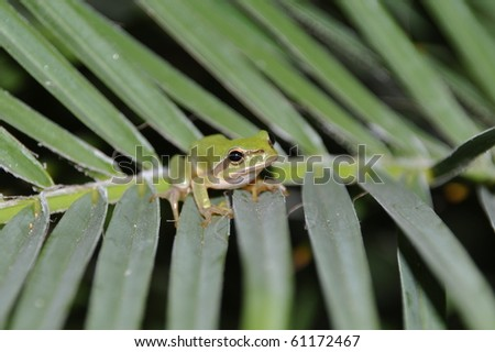gorgeous tree frog on palm tree leaves in Kos, Greece