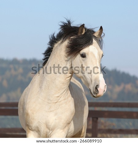 Gorgeous welsh cob running in arena, with autumn background - stock photo