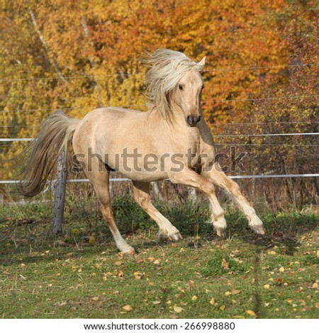 Gorgeous welsh pony of cob type running with autumn background - stock photo