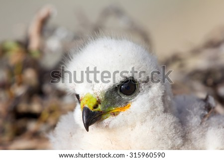 Gorgeous white bird of prey chicks: Rough-legged Buzzard. Novaya Zemlya tundra 2 - stock photo