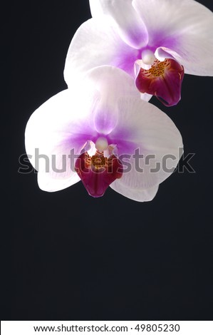 Gorgeous white phalaenopsis orchid flower on black