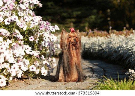 gorgeous Yorkshire terrier with luxurious long hair on the background of flower beds with petunias - stock photo